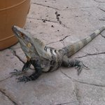Iguana around pool