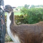 The llama we met