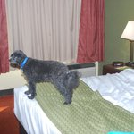 Pippin checking out the bed at LaQuinta