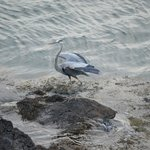 Great Blue Heron just below the deck
