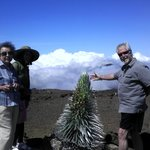 Silversword, Haleakala Summit