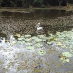 Pelican among the waterlillies