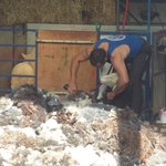 Sheep shearing in the shed