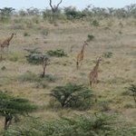 Giraffes on the run