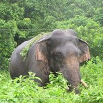 wild elephant near to hotel
