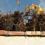 A winter grapevine growing over the Mission's protective wall on the hallowed grounds of Califor