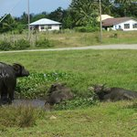 Water buffaloes on the way to the beach
