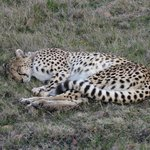 game drive - cheetah