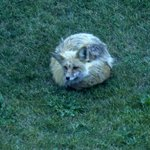 This fox just curled up for a while on the lawn outside the back of the hotel.
