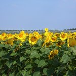 We were surrounded by fields of sunflowers
