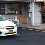 Deer on Porch