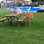 Deer at Picnic Table