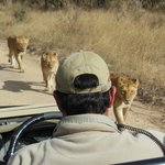 Lions next to safari vehicle