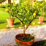 Sant'Anna garden - lemon trees
