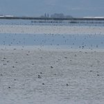in the middle of the Pacific Flyway, Tule Lake provides a critical resting and feeding place.
