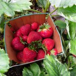 Strawberries Picked Fresh from the Garden