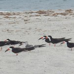 Neat birds at the very southend of wrightsville beach