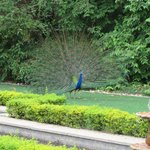 Peacock, of course
