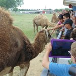petting the camels on the safari
