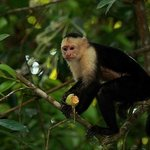 white faced monkey (capuchen)