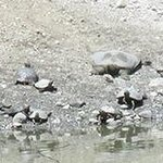 Red-eared sliders and softshells basking along the bank of the drying pond