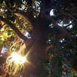 Looking up at the magnolia tree at dinner