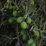 Olives at the ruins in Kourion