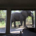 Elephant from our tent