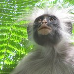 A Colobus monkey visited us
