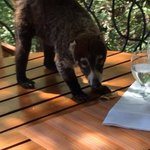 This sweet Coati came to visit us, (from then on all sugar & food items were never left out:)