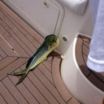my son caught this pretty Mahi Mahi on his deep sea fshing trip On August 14, 2014 Pacific ocean