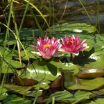 water lilies in August