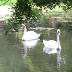 Swans on the pond at Ballymaloe