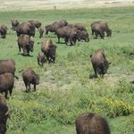 Bison roaming across the prairie at Terry Bison Ranch
