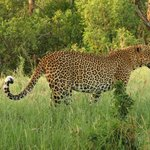 One of the Leopards