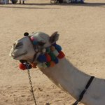 Oscar the beach camel