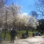 Franklin Square with Cherry Blossoms