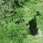 A bear walking below the chair lift.