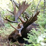Moose lying in the trees