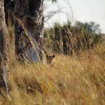 Our first glimpse at the lions on the bushwalk