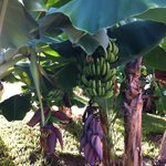 Bananas growing in landscaping