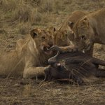 Lion breakfast!