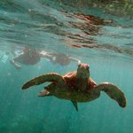 """Snorkeling over the """"honu"""""""