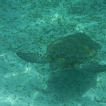 Sea Turtle at Hol Chan - Thanks Hill!!