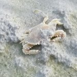 Ghost Crab on Omni Shore, rare find!