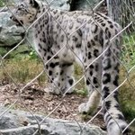 Snow leopards have long tails to help with balance as they can leap 40 feet!