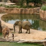 The Dallas Zoo's award-winning Giants of the Savanna habitat is the only one in the U.S. where e