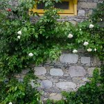Cottage wall lined with rose bushes