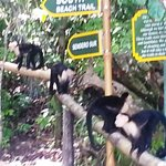 White-faced Monkeys playing at Tulemar Beach