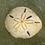 Sand dollar on the beach